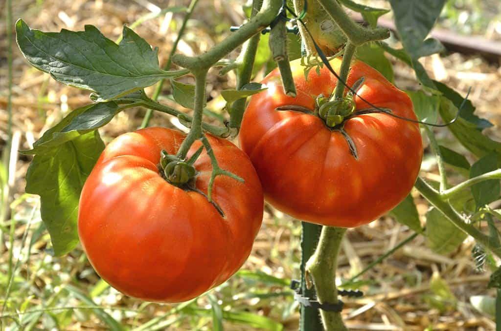 Plus de 50 recettes avec des tomates